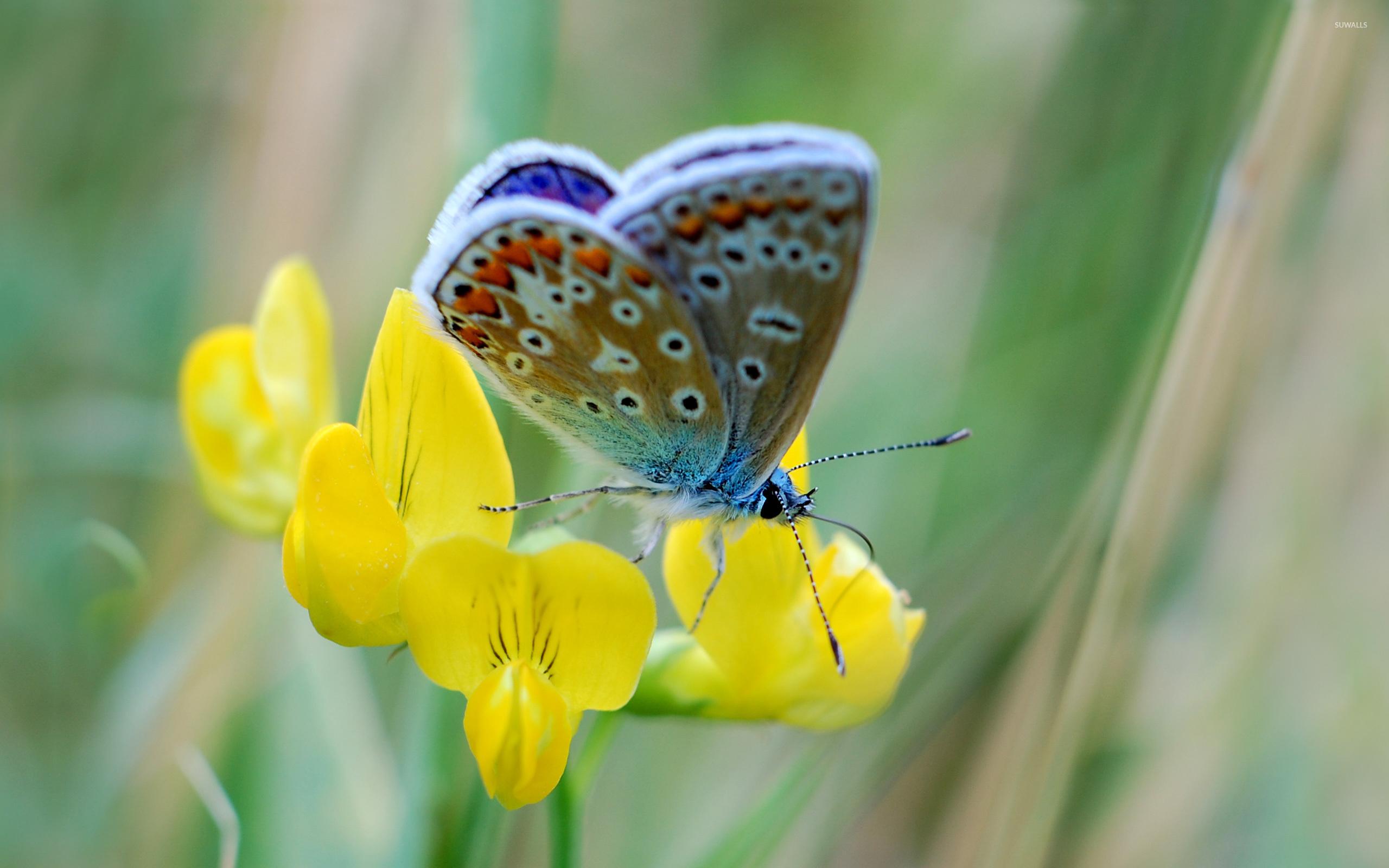 природа макро бабочка цветы желтые  № 1238540 загрузить