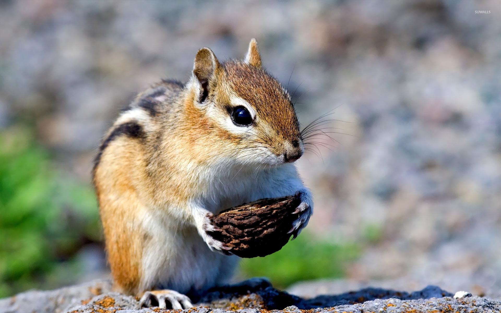 бурундук с арахисом  № 136477 бесплатно