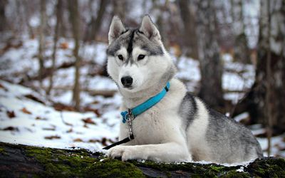 природа животное собака морда хаски  № 3886570 без смс