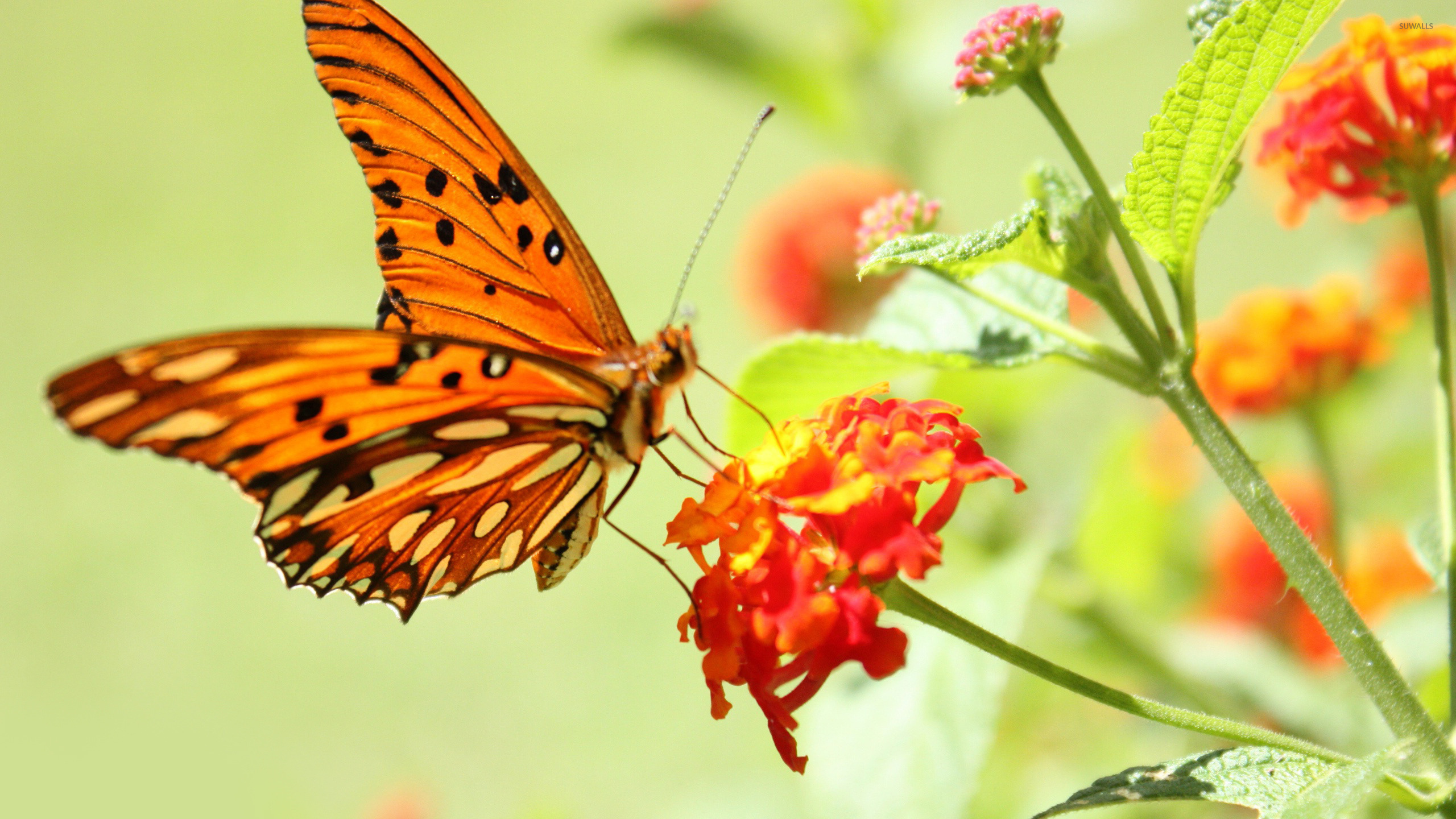 бабочка цветы опыление  № 3353529 бесплатно