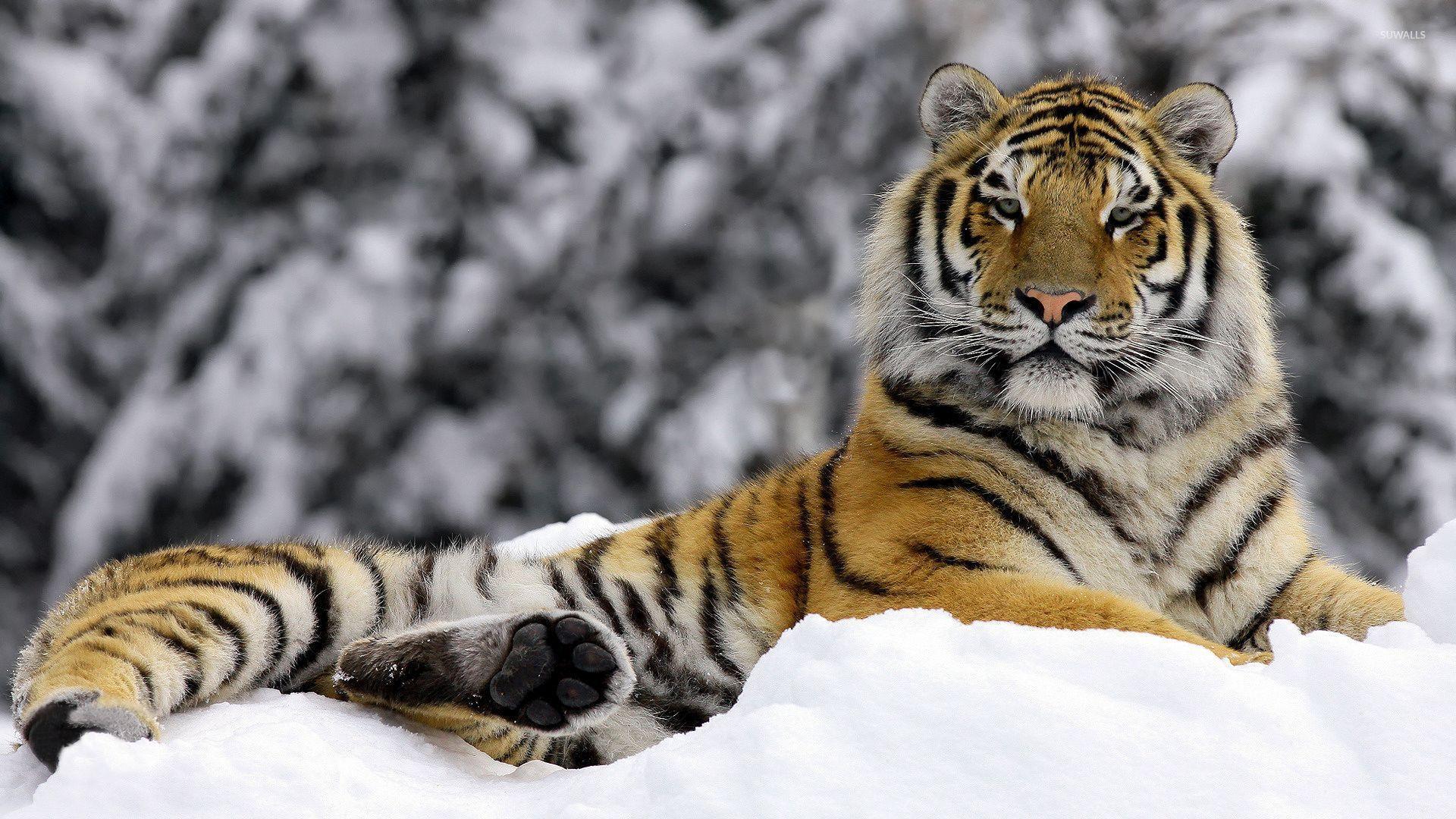 белый тигр на снегу  № 988847 загрузить