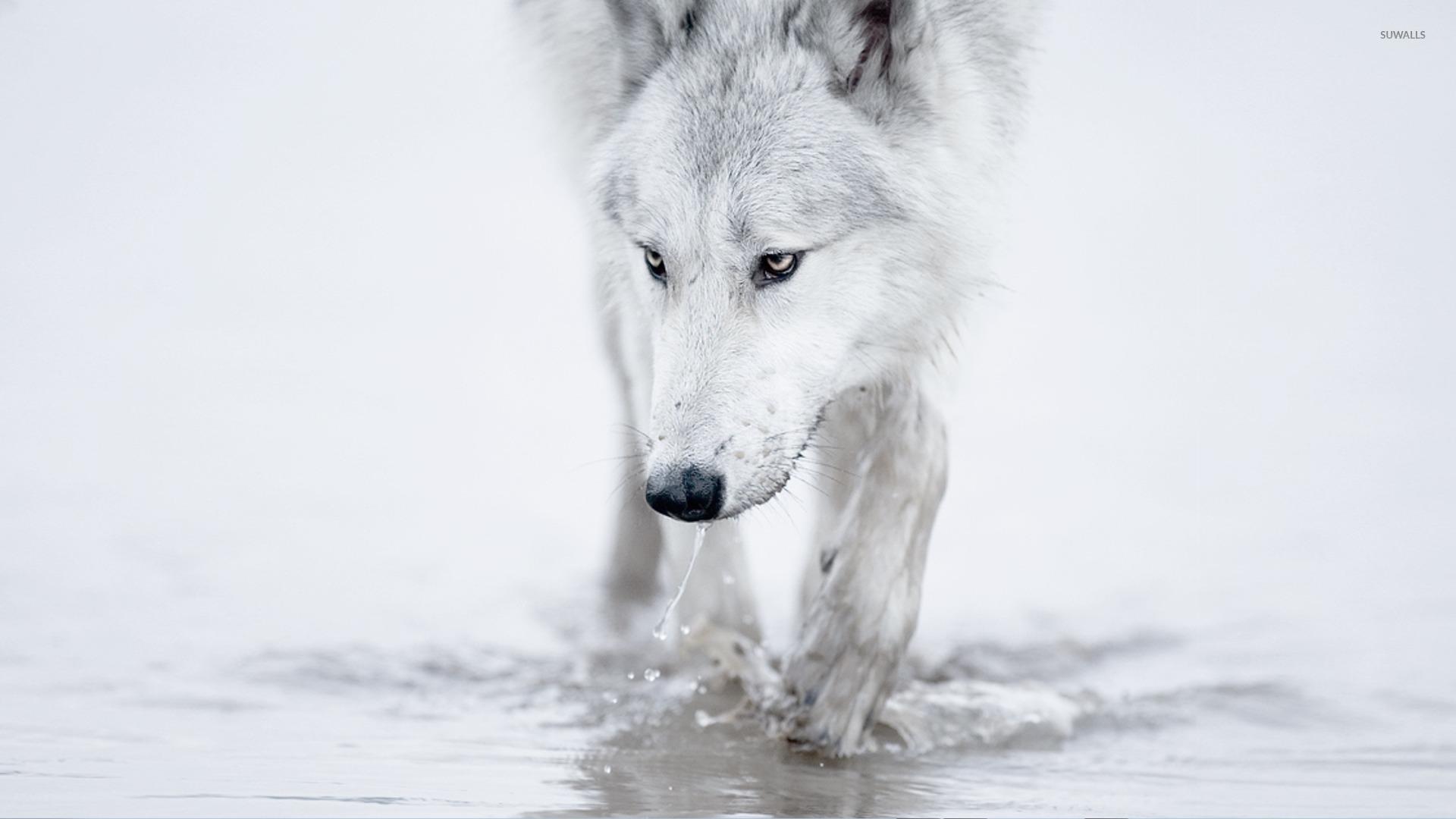 Обои волк на рабочий стол hd
