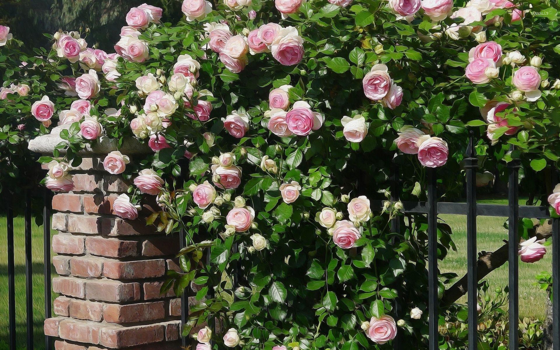 Розы куст забор  № 3015240  скачать