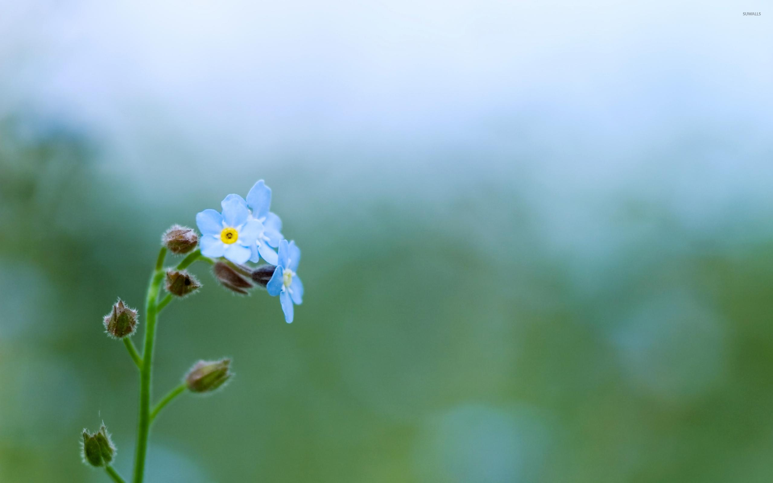Цветы голубые незабудки  № 1334085  скачать