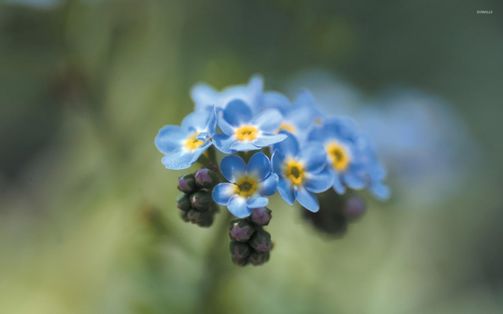 синие цветы незабудки крупный план роса  № 2779693 загрузить