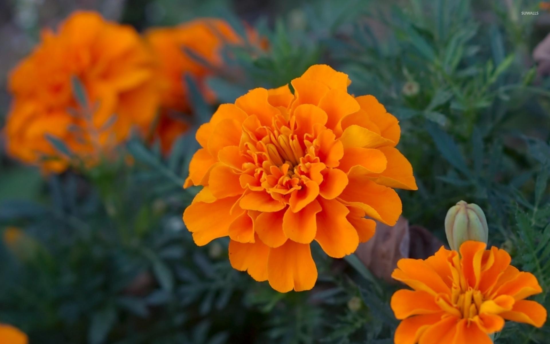 Сорта цветов бархатцы
