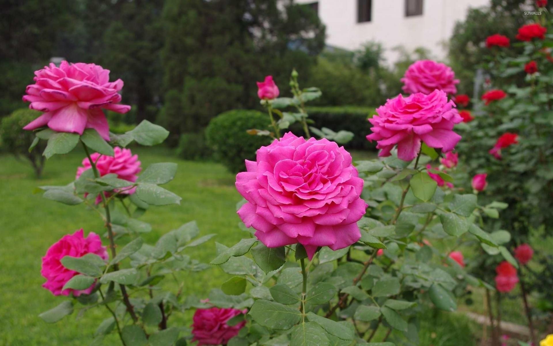 Садовые цветы розы