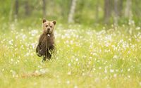 Adorable bear cub in the grass wallpaper 1920x1200 jpg