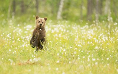 Adorable bear cub in the grass wallpaper