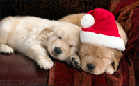 Adorable puppies sleeping on the couch on Christmas Eve wallpaper 1920x1200 jpg