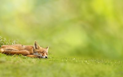 Adorable sleeping fox wallpaper