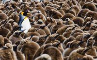 Adult penguin and chicks wallpaper 1920x1080 jpg