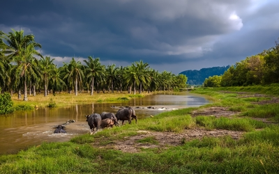 African buffaloes entering the river wallpaper