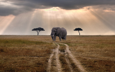 African elephant wallpaper