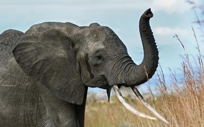 African elephant [2] wallpaper
