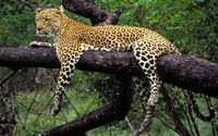 African leopard in a tree wallpaper 1920x1080 jpg