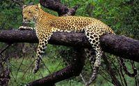 African leopard in a tree wallpaper 1920x1080 jpg