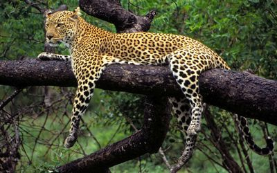 African leopard in a tree wallpaper