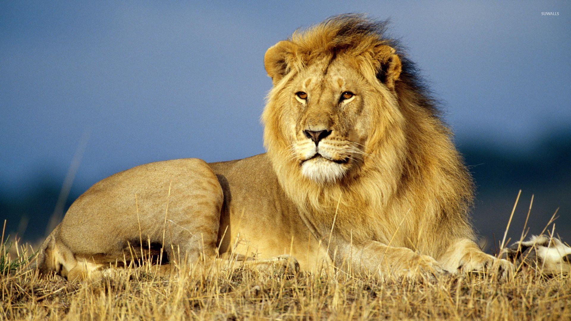 African Lion wallpaper