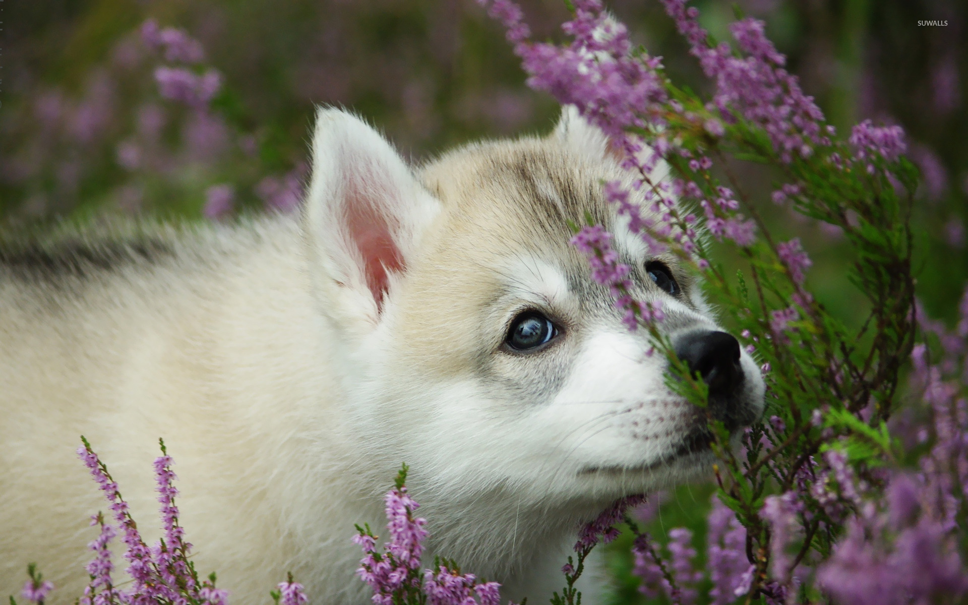 Akita Puppy Wallpaper Animal Wallpapers 17922