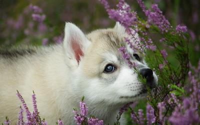 Akita puppy wallpaper