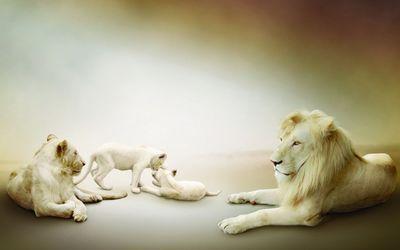Albino lion family wallpaper