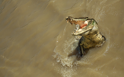 Alligator [3] wallpaper