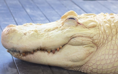 Alligator [5] wallpaper