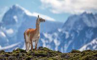 Alpaca in the moss wallpaper 1920x1200 jpg