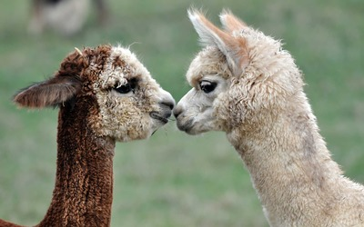 Alpacas wallpaper