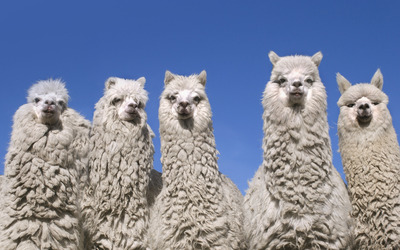 Alpacas [2] wallpaper