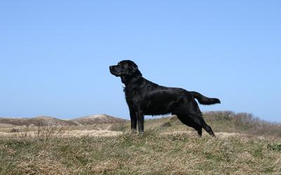 Amazing black Labrador Retriever wallpaper