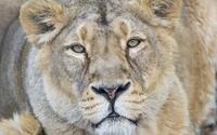 Amazing lioness gazing wallpaper 1920x1200 jpg