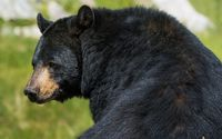 American black bear wallpaper 2560x1600 jpg
