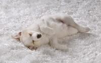American Eskimo puppy wallpaper 1920x1200 jpg