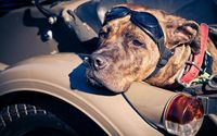 American Staffordshire Terrier wallpaper 2560x1600 jpg