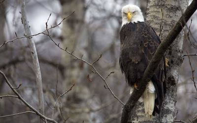 Angry Bald eagle on a tree branch wallpaper