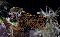 Angry leopard wallpaper 2560x1600 jpg