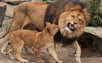 Angry lion with its cub wallpaper 2560x1600 jpg