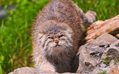 Angry Pallas's cat on a rock wallpaper