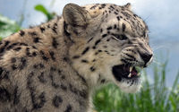 Angry snow leopard wallpaper 2560x1600 jpg