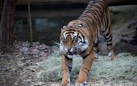 Angry tiger wallpaper 1920x1200 jpg