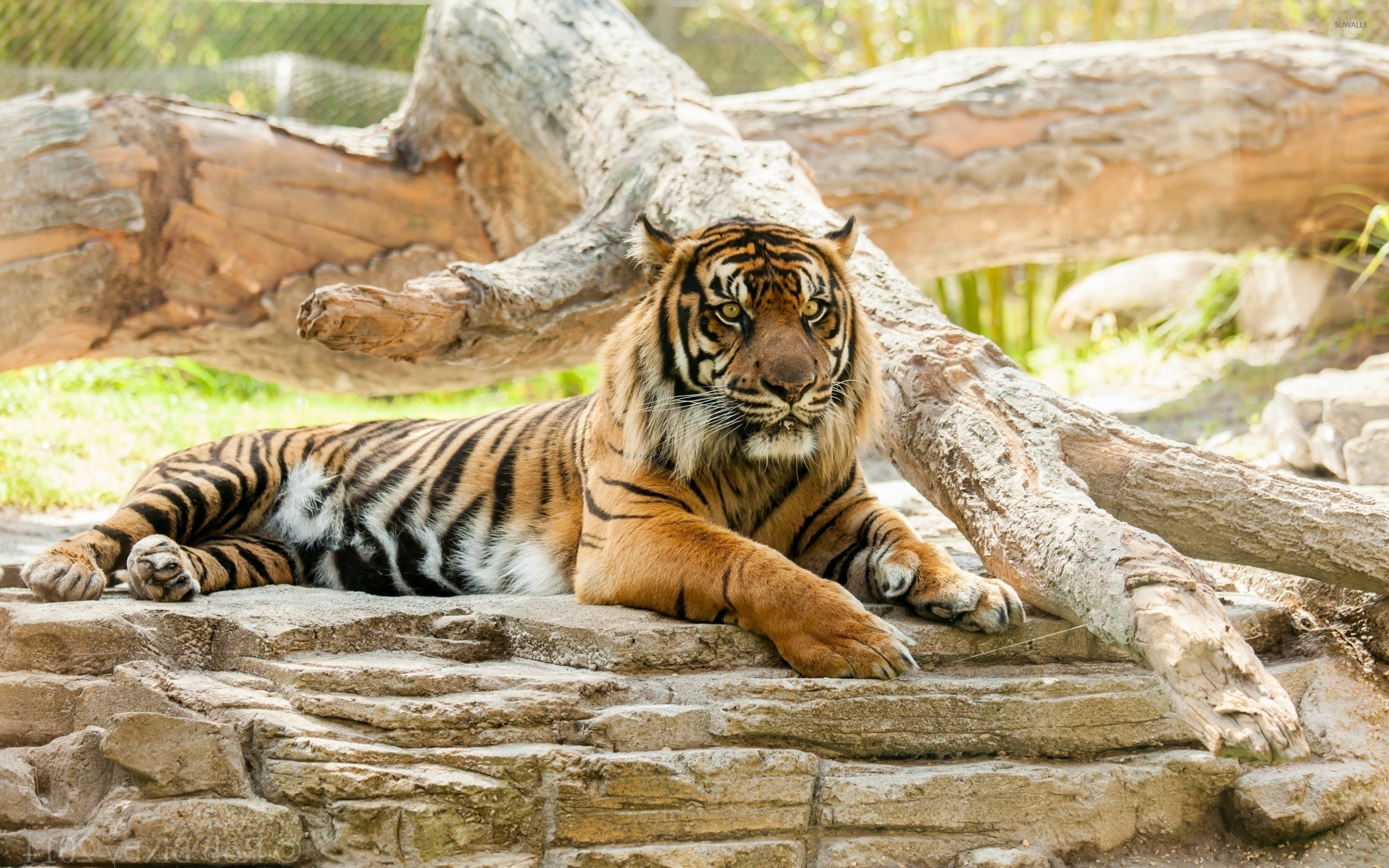 Angry Tiger Resting On A Rock Wallpaper Animal Wallpapers