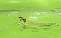 Ant on a leaf floating on the water wallpaper 1920x1200 jpg