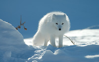 Arctic fox wallpaper 2880x1800 jpg