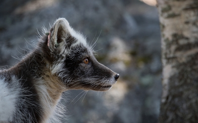 Arctic fox [2] wallpaper