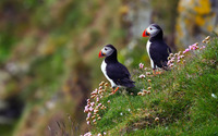 Atlantic Puffins wallpaper 1920x1080 jpg