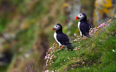 Atlantic Puffins wallpaper