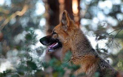 Attentive German Shepherd in the forest wallpaper