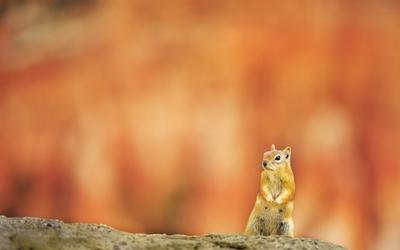 Attentive squirrel wallpaper